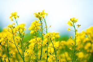 旬の春野菜「菜の花」の美肌・デトックス効果がすごい!